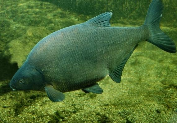 Лещ (Abramis brama) под водой