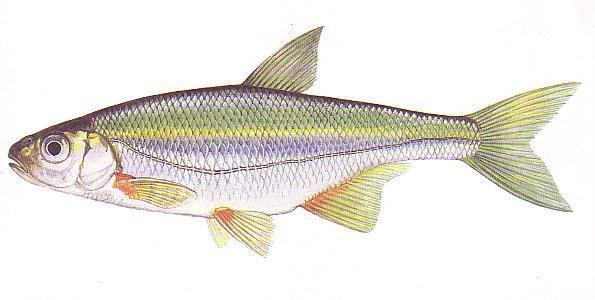 Быстрянка (Alburnoides bipunctatus). Иллюстрация