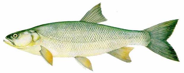 Жерех (Aspius aspius)