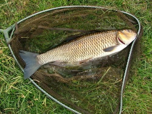 Голавль – сильная рыба. Для его ловли требуется крепкая снасть