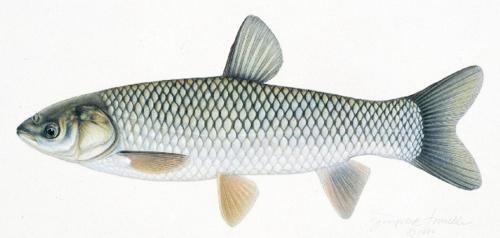 Амур белый (Ctenopharyngodon idella). Иллюстрация