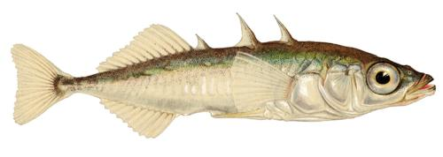 Колюшка трехиглая (Gasterosteus aculeatus). Иллюстрация