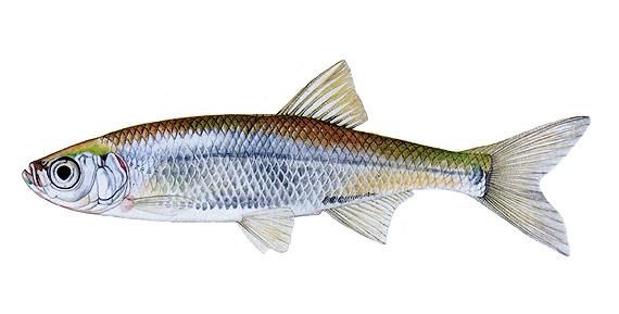 Верховка (Leucaspius delineatus). Иллюстрация