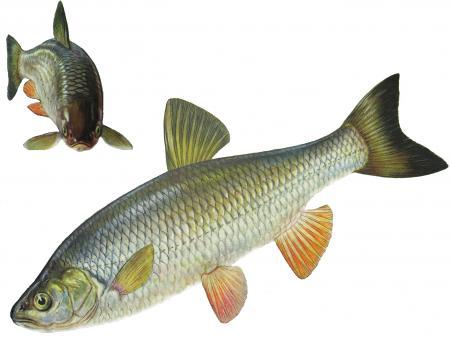 Голавль (Leuciscus cephalus)