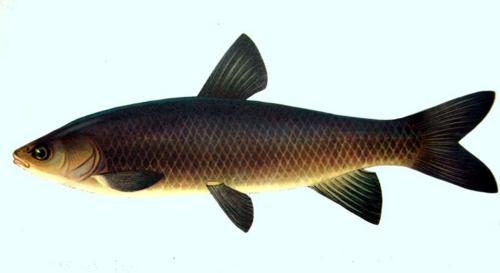 Амур черный (Mylopharyngodon piceus). Иллюстрация