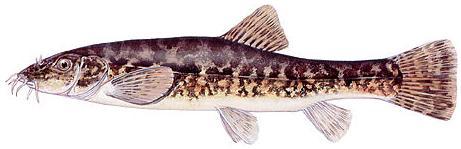 Голец (Nemachilus barbatulus)