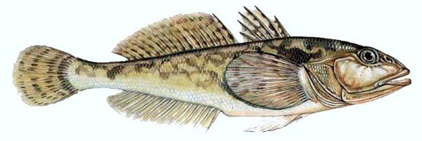 Бычок-песчаник (Neogobius fluviatilis). Иллюстрация