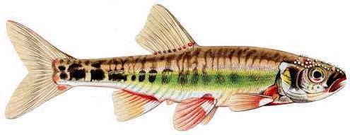Гольян обыкновенный (Phoxinus phoxinus). Иллюстрация