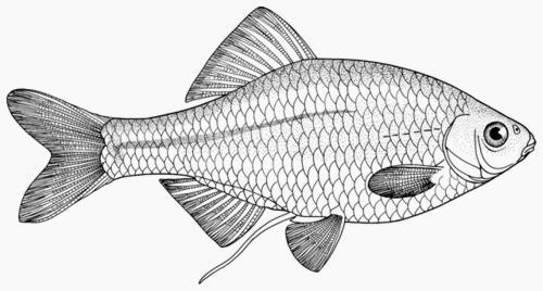 Горчак обыкновенный (Rhodeus sericeus amarus). Иллюстрация