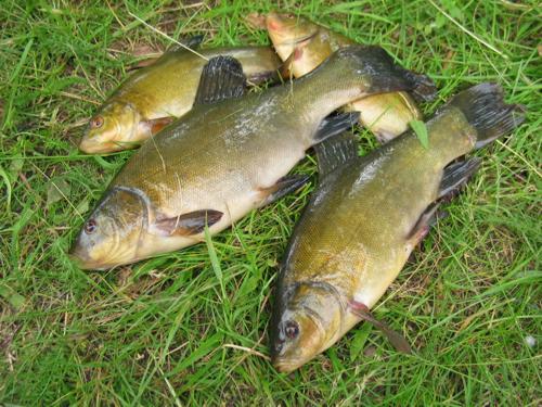 Линь — объект спортивного рыболовства